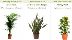 office feng shui plants. Top Air Cleansing Plants: Areca Palm, Mother-in-law\u0027s Tongue And Money Office Feng Shui Plants S