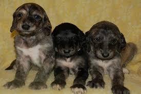 cute black afghan hound puppies