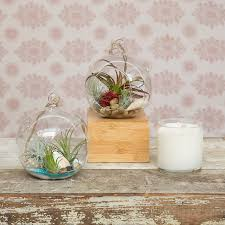 hanging glass terrarium with air plant air plants survive off a little water a bit of air and