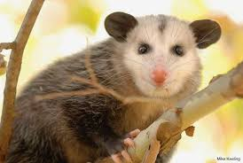 Basic Information Sheet Virginia Opossum Lafebervet