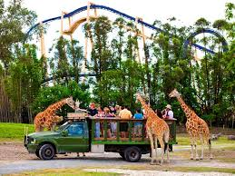 giraffe feeding at busch gardens