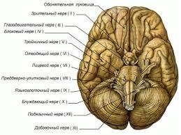 и белое вещество головного мозга реферат Серое и белое вещество головного мозга реферат