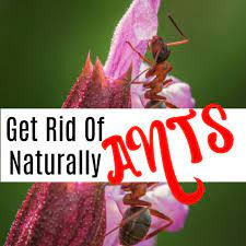how you can get rid of ants naturally