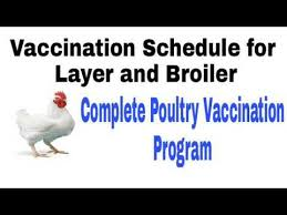 Complete Poultry Chicken Vaccination Program Broiler