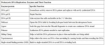Dna Essay Image Result For Dna Replication And Enzymes Dna