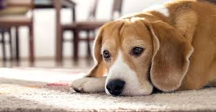 Canine Lymphoma Symptoms 10 Signs Your Dog Is In Pain Vetdc Canine Lymphoma Experts