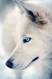 pure white wolf pup. Wonderful Pup Wolves And Dog With Pure White Wolf Pup F