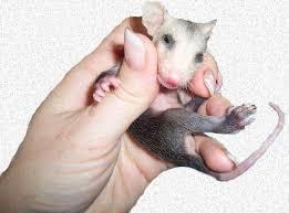 Raising Orphaned Opossums