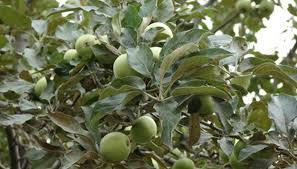 ISU Forestry Extension  Tree Identification Choke Cherry Prunus Green Fruit Tree Identification