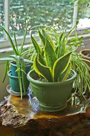 Hard To Kill Houseplants  Learn About Low Maintenance Plants Indoors