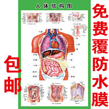 Human Organ Chart Anatomical System Of Human Internal Organs Schematic Medical