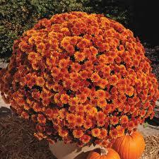 pot spicy orange garden mum chrysanthemum orange flowers live perennial plant 1 pack