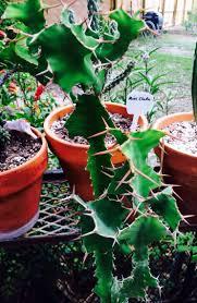 Cows Horn Cactus Big Horn Zig Zag Cactus Euphorbia