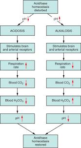 Acid Base Balance Anatomy And Physiology Ii
