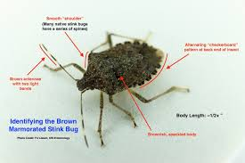 Small Brown Bugs In Bedroom Why Such A Stink About A Bug Insect Diagnostic Lab