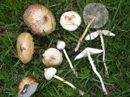 Florida Mushroom Identification Chart Usf Species Catalog