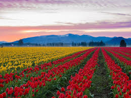 best food bets for skagit valley tulip festival day trippers 2019
