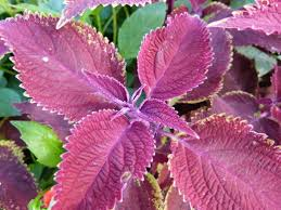 scarlet coleus is safe for children but it s not recommended for pets
