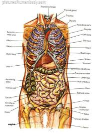 Organs Google Search Human Body Anatomy Body Organs