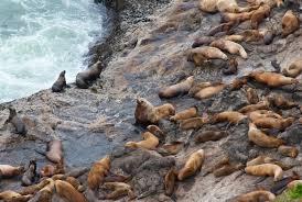 oregon coast living seals sea lions on the oregon coast sea lion caves