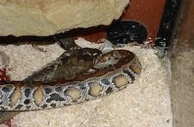 king cobra snake eating.  Snake Facebook With King Cobra Snake Eating N