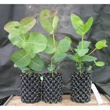 eucalyptus neglecta 23 6 13 6 9 150 225mm