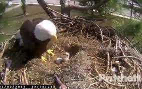 florida eagle cam. Contemporary Eagle Check  To Florida Eagle Cam I