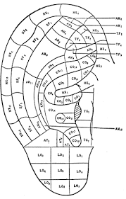 Acupuncture Auricular Points Chart Acupuncture Points Chart Pdf Bedowntowndaytona Com
