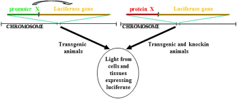 Transgenic Animals Frontiers Transgenic Animal Models To Visualize Cancer