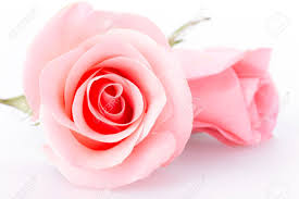 pink rose flower on white background stock photo 38581051