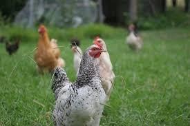 A Practical Guide To Keeping Backyard ChickensHow To Keep Backyard Chickens