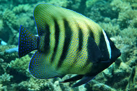 Image result for great barrier reef fish images