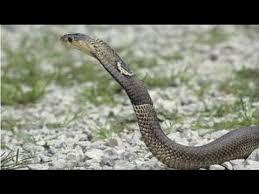 doentary cobra hd snakes doentary hd