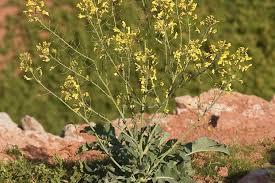 Brassica oleracea L. | Plants of the World Online | Kew Science