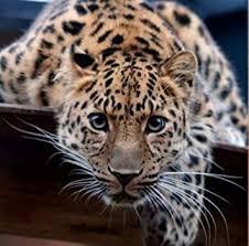 Amazon.com: KYRRELY <b>DIY 5D</b> Diamond Painting, <b>Leopard Full</b> ...