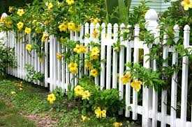 a white wooden picket fence with beautiful yellow flowers large blooms and leafy branches pouring vinyl