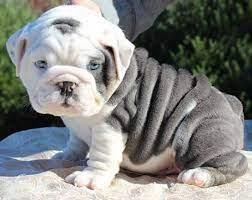 miniature english bulldog puppies for