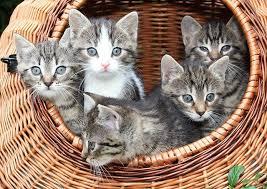 Een kitten kopen