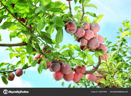 delicious ripe plums on tree in garden photo by