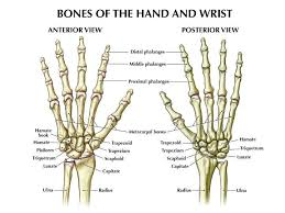 Hand Bone Anatomy News Information Hand Bones Anatomy