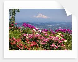 rose garden adds beauty to mt hood from pittock mansion portland oregon pacific