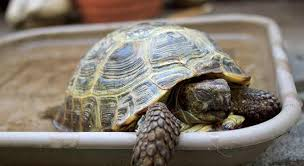 bedding for a russian tortoise