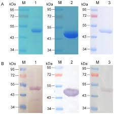 A Sds Page Analysis M Pageruler Prestained Protein Ladder
