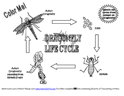 Dragonfly Life Cycle Coloring Page  Site