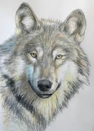 gray wolf drawing colored. Fine Colored Throughout Gray Wolf Drawing Colored A