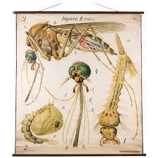 Mosquito Chart Vintage French Scientific School Chart Of Mosquito By Paul