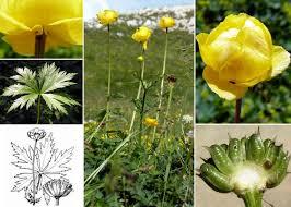 Trollius europaeus L. - Portale alla flora del Parco Nazionale delle ...
