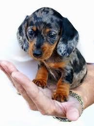 emma baby dachshund by triggerartist on deviantart doxie