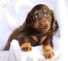 black n tan chocolate miniature