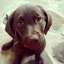 chocolate lab puppies. Contemporary Puppies Chocolate Lab Puppy To Lab Puppies A
